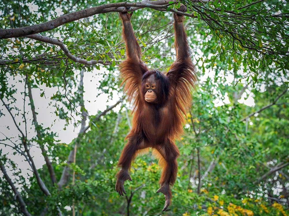 Borneo-orangutan-backpacker-malaysia-südostasien